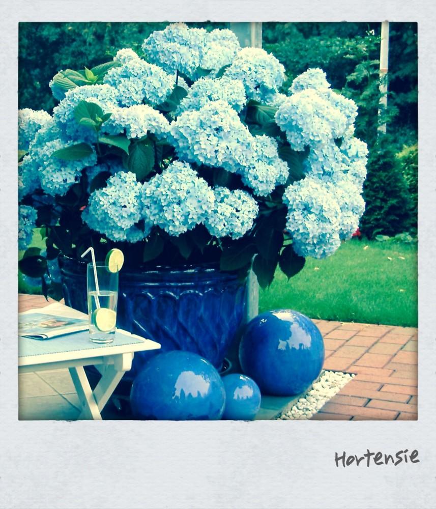 Giftpflanze Hortensie