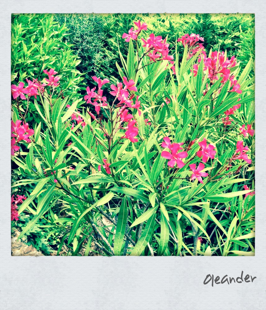 Giftpflanze Oleander