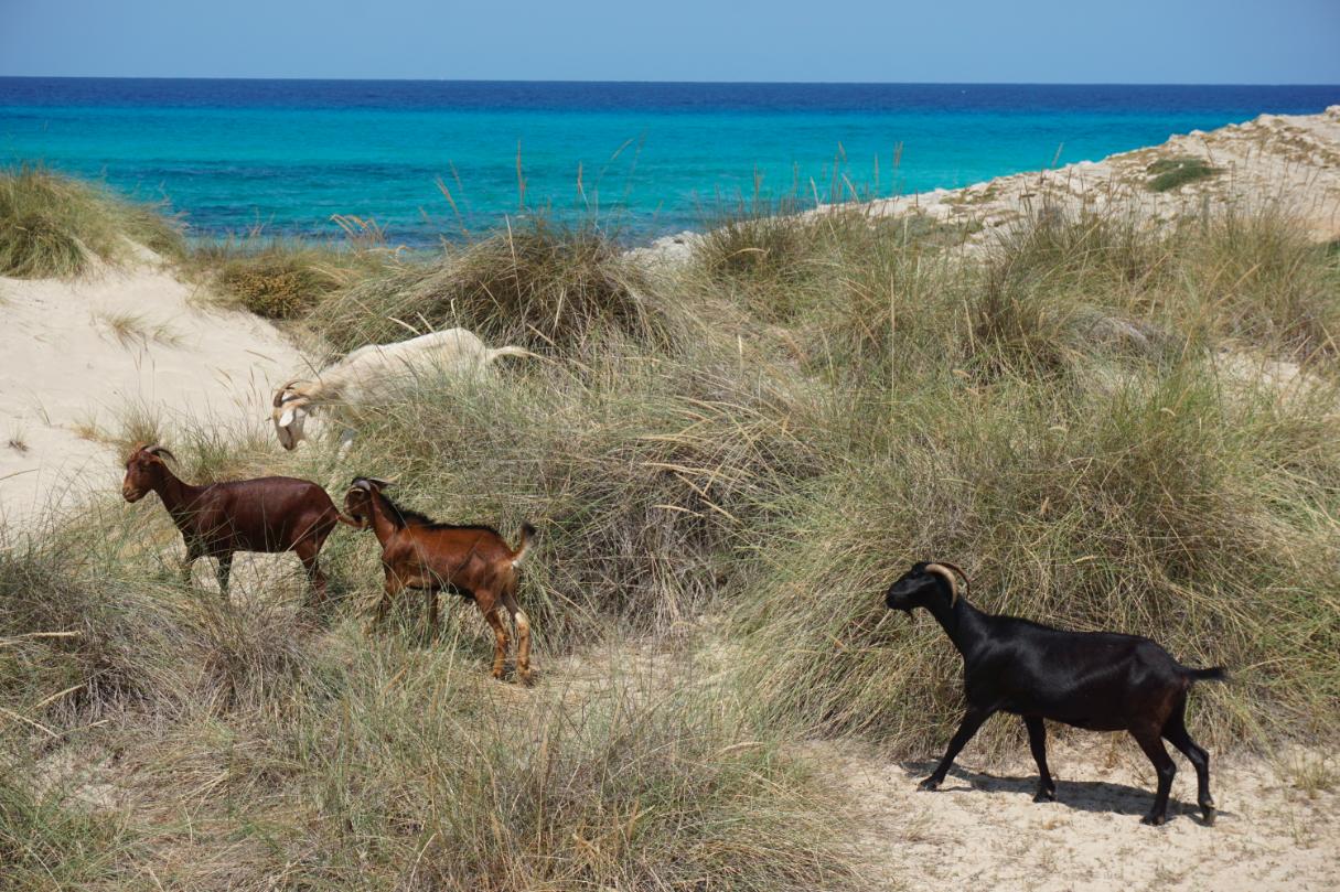 Die Ziegen von Cala Mesquida bei Travel with Kids Mallorca