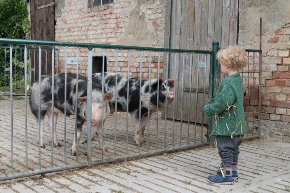 Philo schaut Schweine auf dem Bauernhof