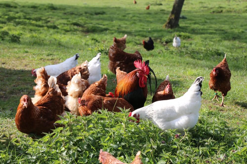 Kinder und Huehner auf dem Bauernhof