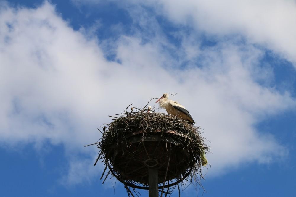 Storch auf Gut Gollin